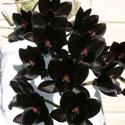 Fdk. After Dark 'Black Diamond'