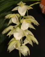 Cycd. Stephen Moffitt 'Sunset Valley Orchids' HCC/AOS
